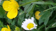 Gänseblümchen mit Berg-Hahnenfuß