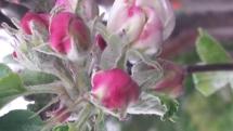 Apfelblüten-Knospen
