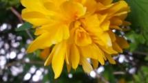 Ranunkelstrauch Blüten