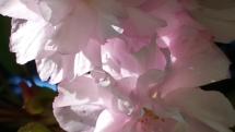 Ein Traum aus Blüten
