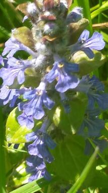 Lila Blütensaude