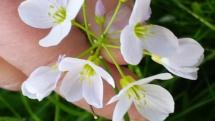 Weiße Waldblume