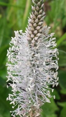 Gräser-Blüte