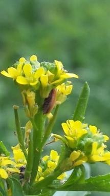 Käfer in Blüte