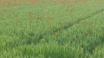 Weizenfeld mit Mohnblumen