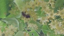 Biene in Blüten der Sommerlinde