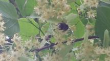 Hummel in den Blüten